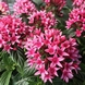 Cestrum elegans wine red