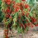 Callistemon vinimalis (Pending)