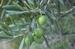 olive tree - Olea oleaster