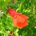 Punica granatum nana